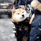 NYで暮らす柴犬「Carbon」のシティライフ