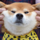 ほっぺたモチモチ♡柴犬の魅力を大公開!