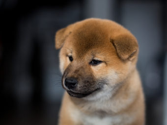 柴犬,基本情報
