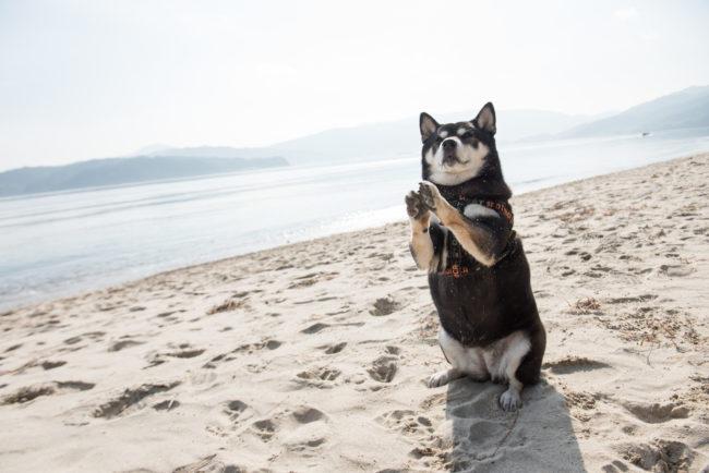 柴犬YouTube