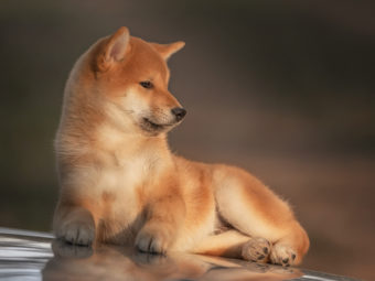 柴犬迷子犬