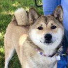 【海外取材】アメリカ、柴犬人気の悲しい裏側〜柴犬レスキュー団体「Shiba Rescue of New Jersey」