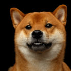柴犬(しばいぬ)の性格/基本情報