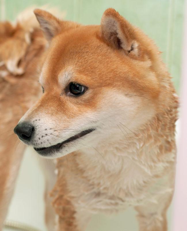 柴犬,病気
