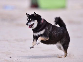 柴犬他の動物
