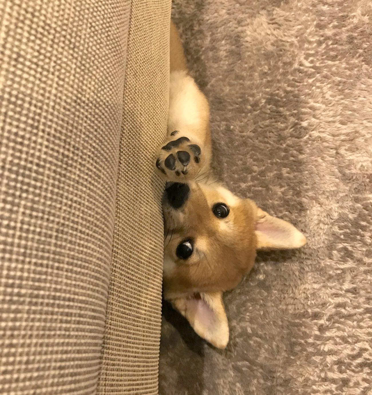 柴犬の謎行動