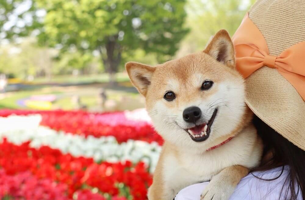 柴犬,うちの子記念日,フォトビー