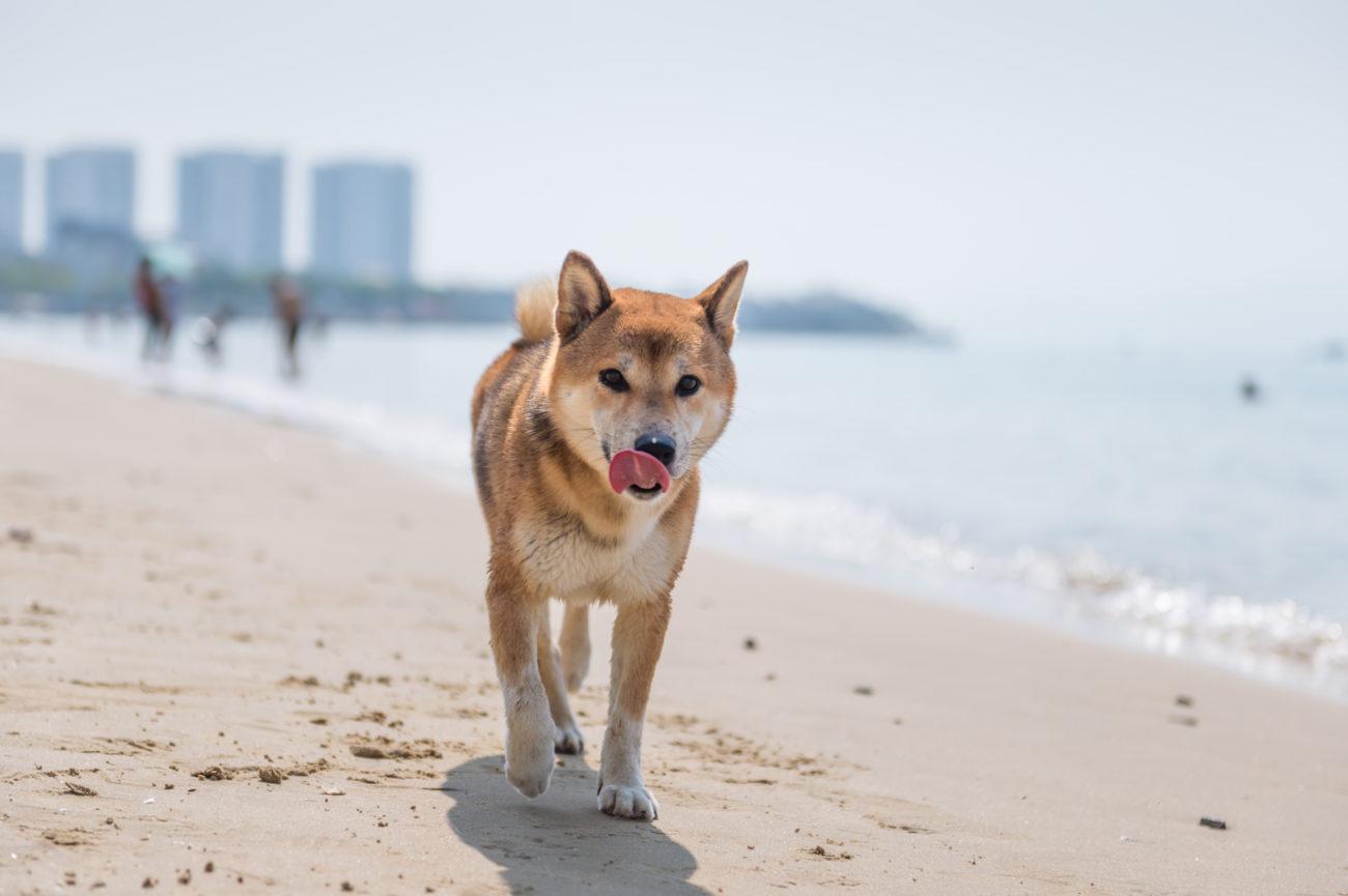 柴犬,熱中症