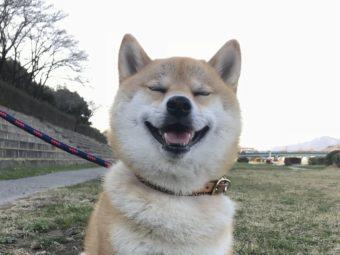 柴犬ボール