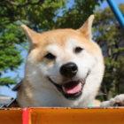 【短期連載】緑内障とたたかう柴犬「うに」vol.1〜突然起こった悲劇〜