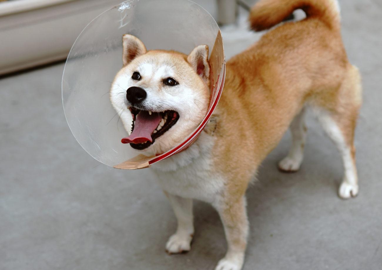 柴犬,里親,保護犬