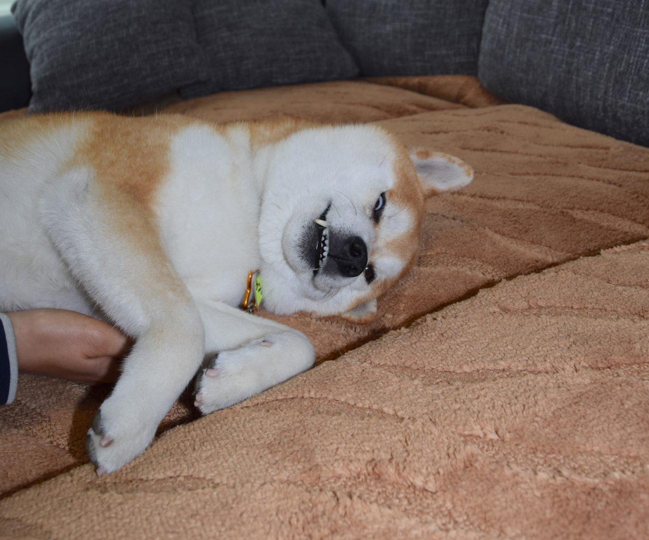 柴犬ミジンコ