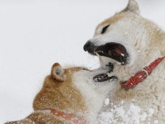 柴犬,北海道犬