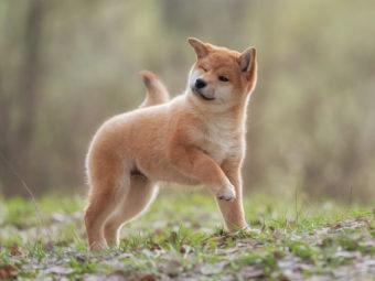 柴犬マニアック