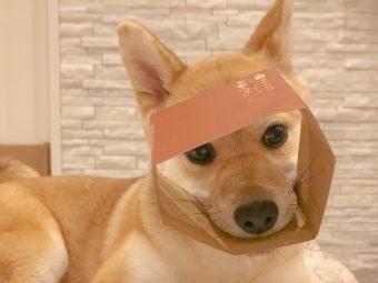 柴犬ひとり遊び