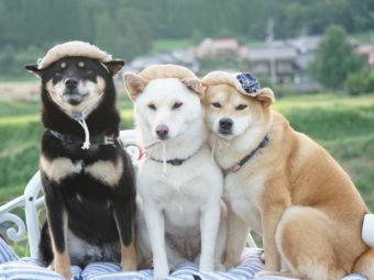 柴犬ファッション