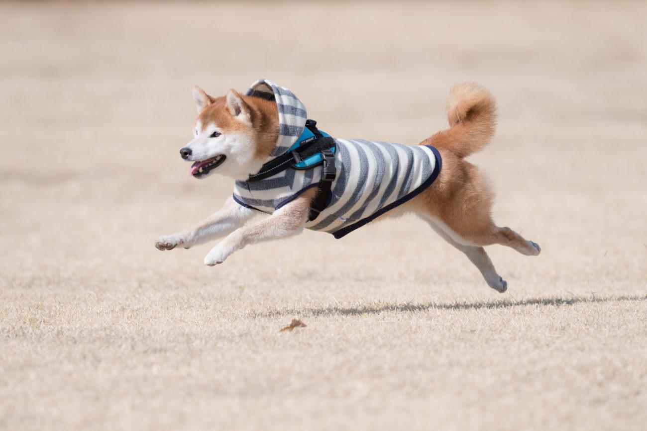 柴犬ドッグラン