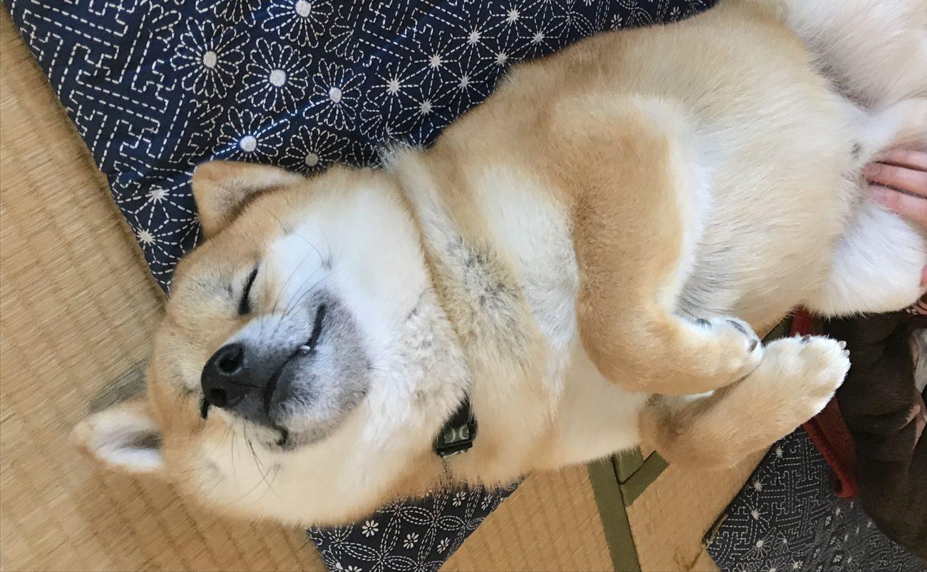 柴犬の寝相