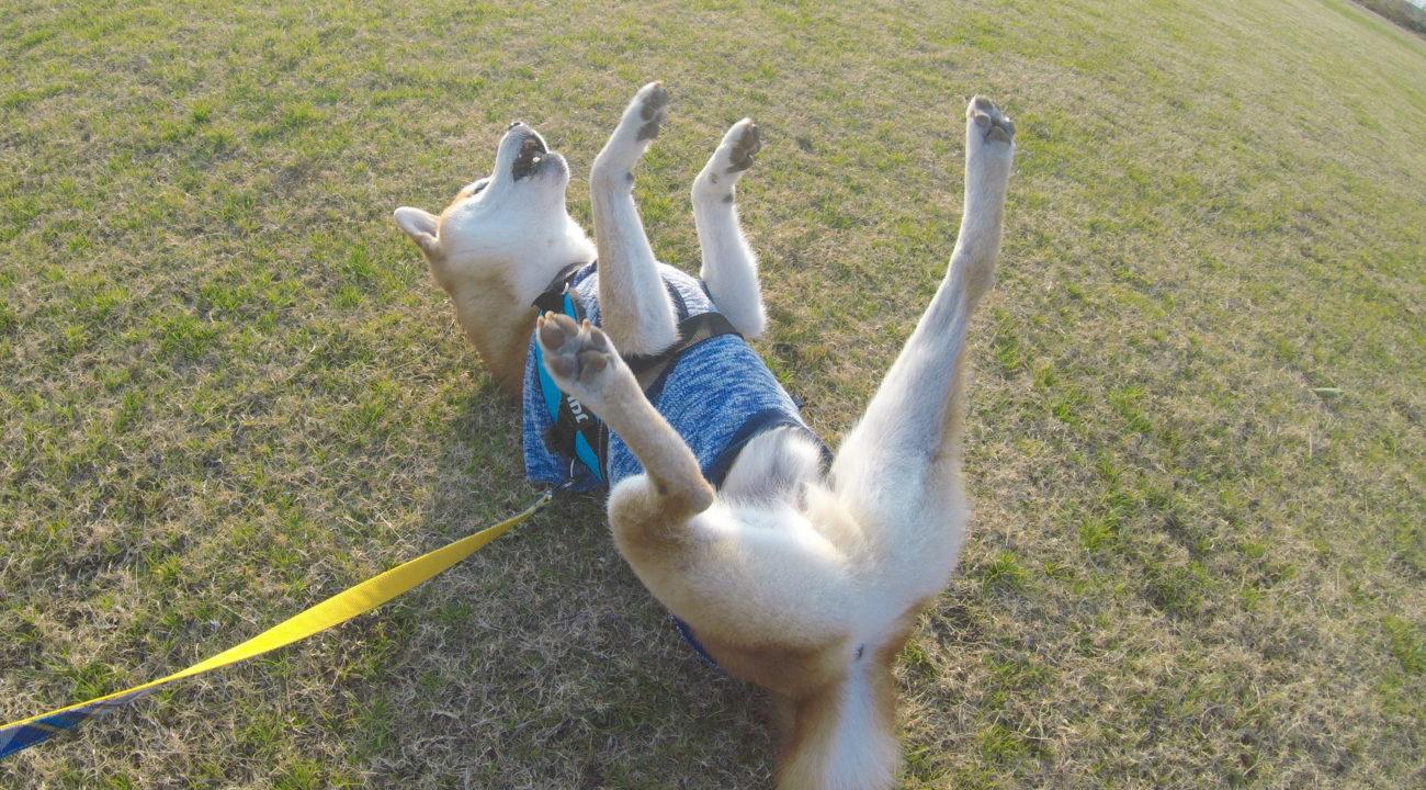 柴犬ダンス