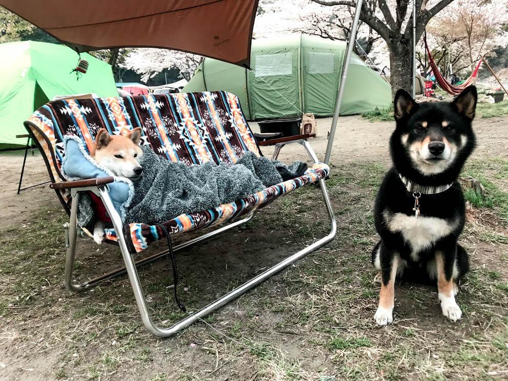 柴犬キャンプ