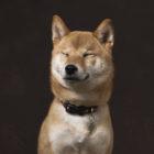 柴犬ライフの公式アプリが登場!スマホに柴犬が住むってよ