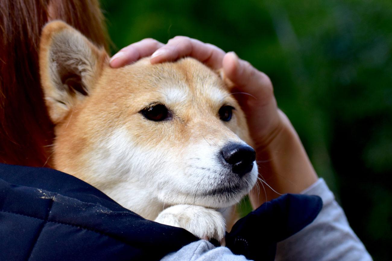 柴犬,災害