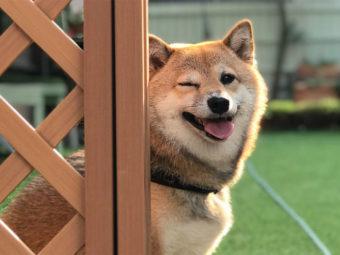 柴犬,ウィンク