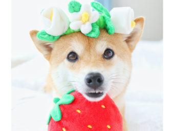 柴犬,コスプレ