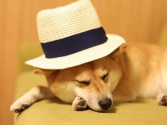 柴犬,画像