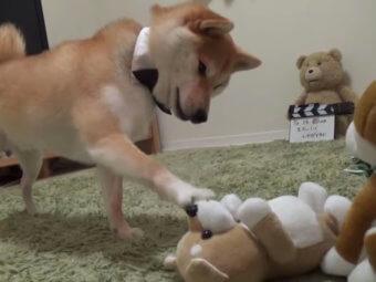 柴犬,動画