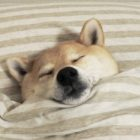 人間か!布団で眠る柴犬たち