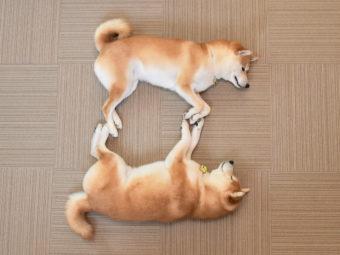 柴犬シンクロ