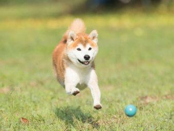 柴犬,公園