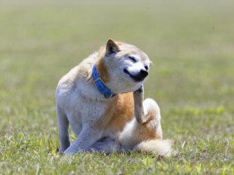 柴犬,シニア