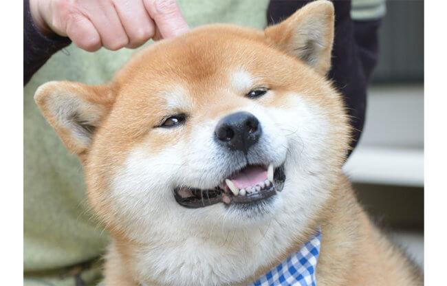 柴犬,リラックス