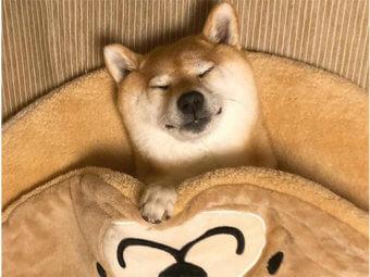 柴犬,クッション