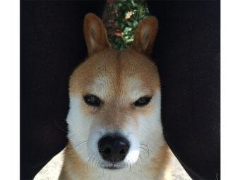 柴犬,うさ柴