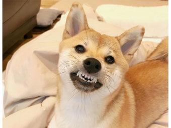 柴犬,ヒーター
