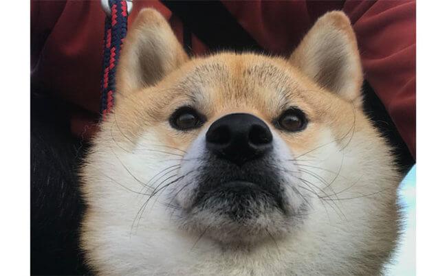 柴犬,ローアングル
