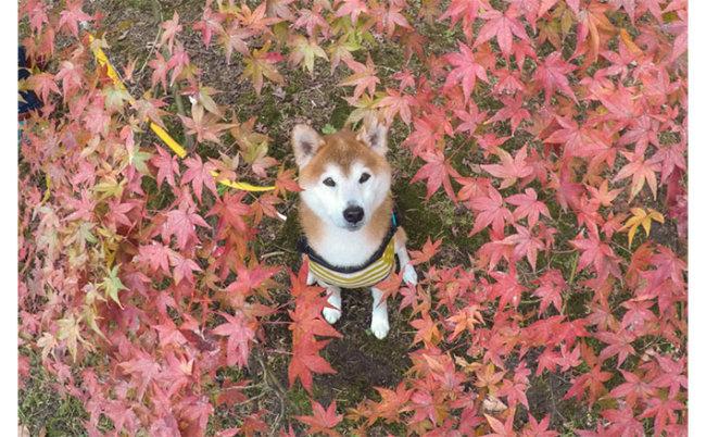 柴犬,紅葉