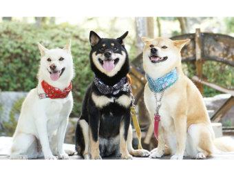 柴犬,柴犬祭り