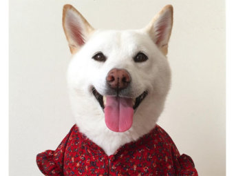 柴犬,白柴さな
