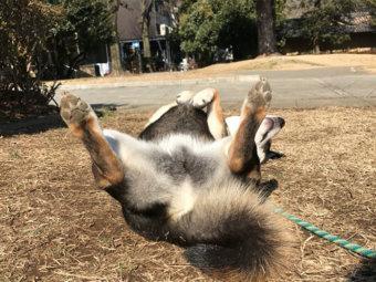 柴犬,ダンス