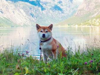 柴犬,海外