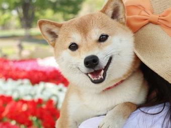 柴犬,抱っこ