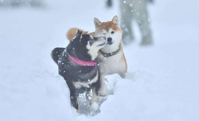 柴犬,スローモーション
