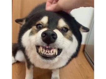 柴犬,ガルガル