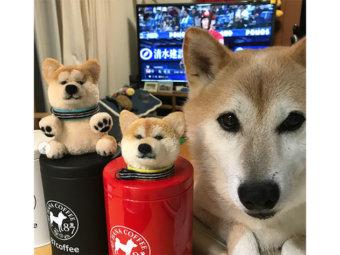 柴犬,ぽんぽん