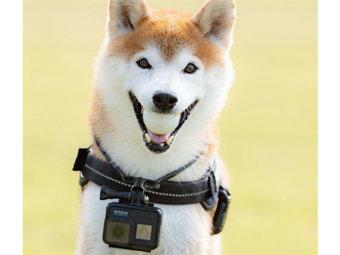 柴犬,GoPro