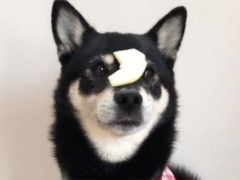 柴犬,鼻パク